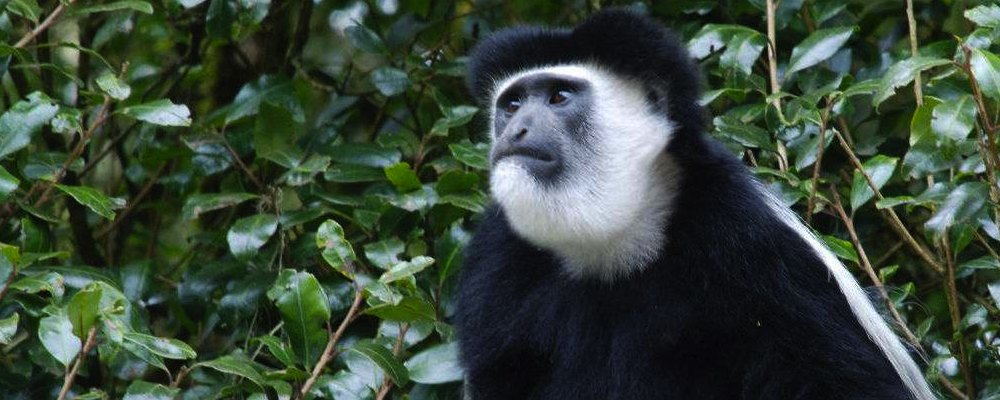 Background Information: Colobus monkey banner 2 smaller 2