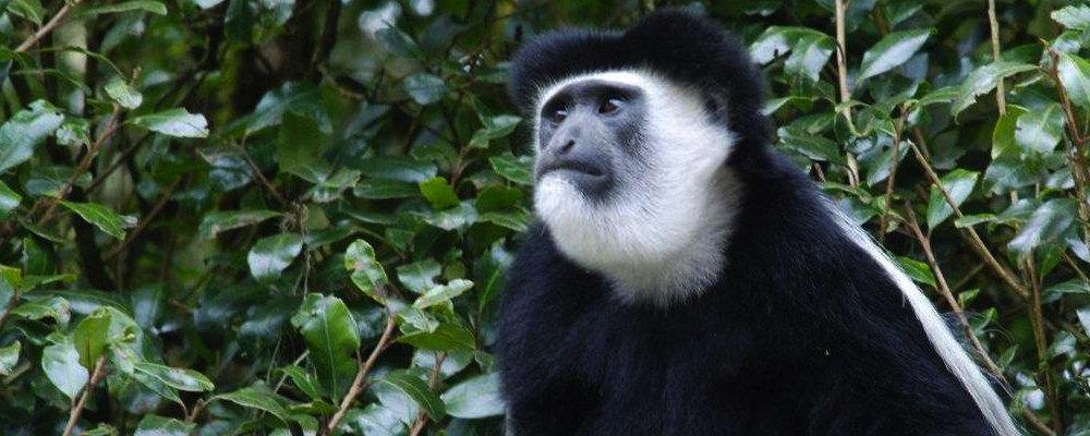 Background Information: Colobus monkey banner 2 smaller 2