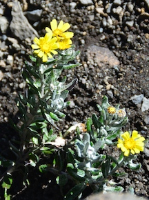 Helichrysum newii