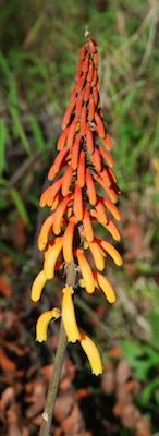 Kniphofia thomsonii or red-hot poker