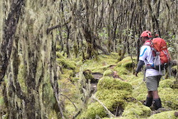 A Tanzanian guide with a red backpack walking in the Umbwe Route's mossy forest