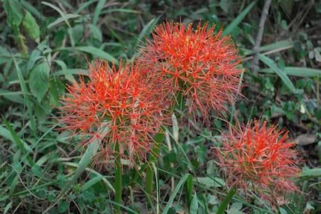The rare fireball lily