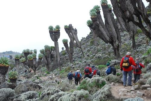 Walking through a grove of senecios:giant groundsels