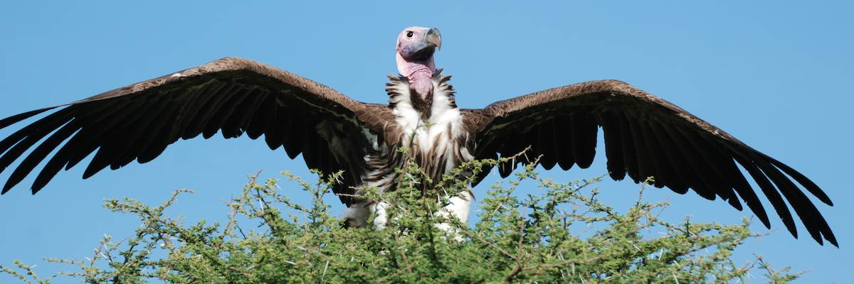Vulture opens its feathers to the sun