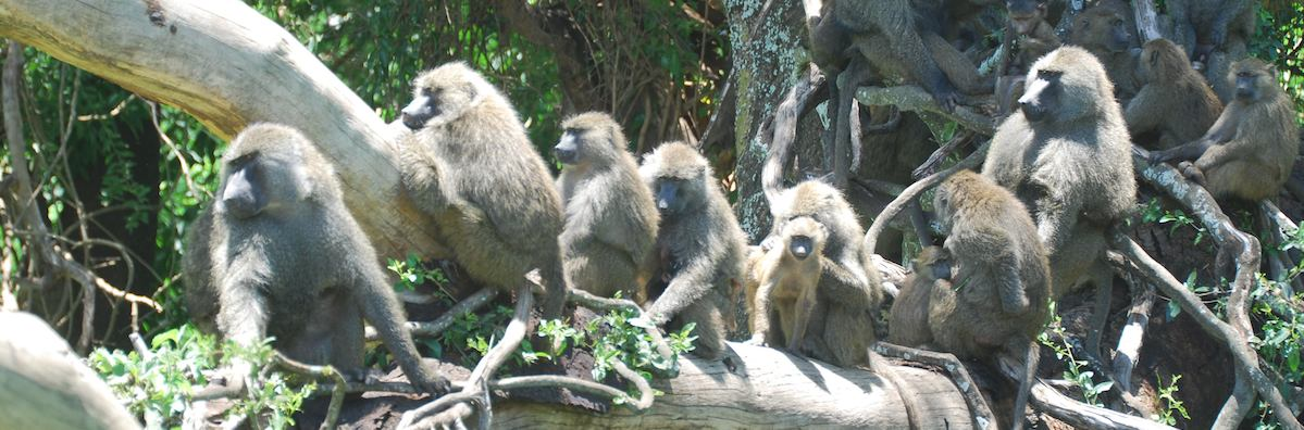 Tribe of baboons on a tree looking to see what the news is