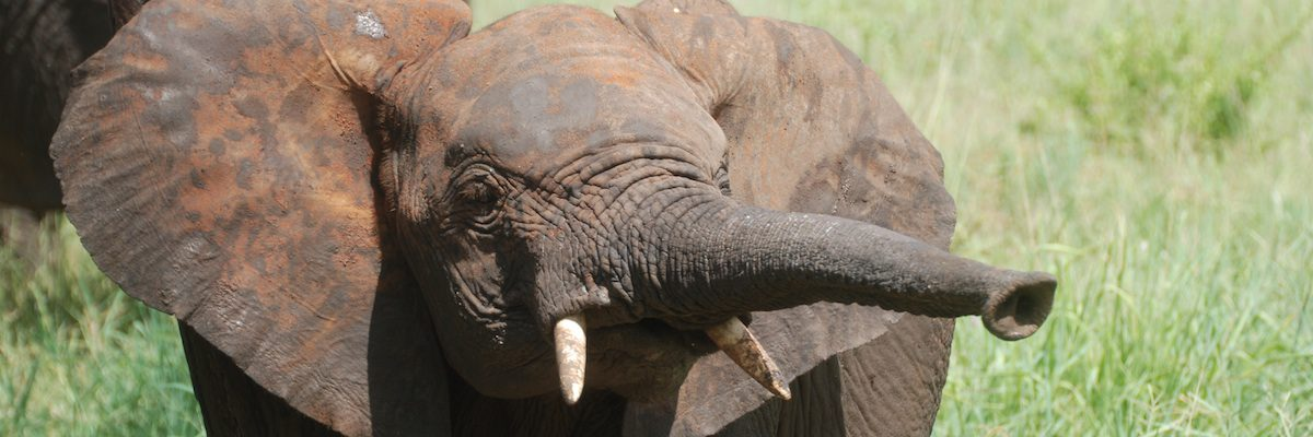 Young elephant pokes out its trunk as it sniffs out the latest Kili news