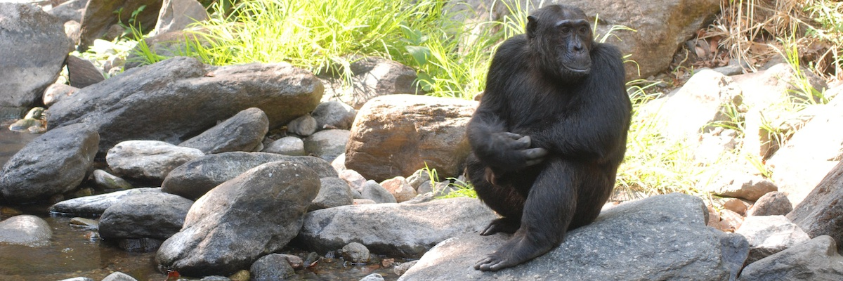 Chimp by a stream in Mahale hears the latest news