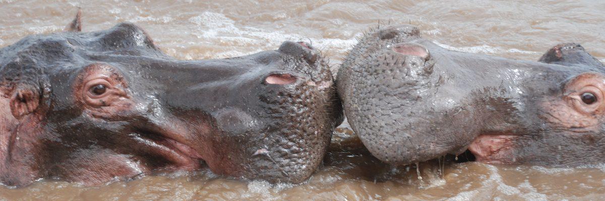 Two hippos kissing at Serengeti National Park near Kilimanjaro
