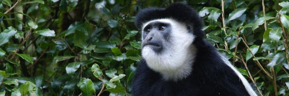 Portrait of a black and white colobus monkey against a backdrop of dark green foliage on the Marangu Route