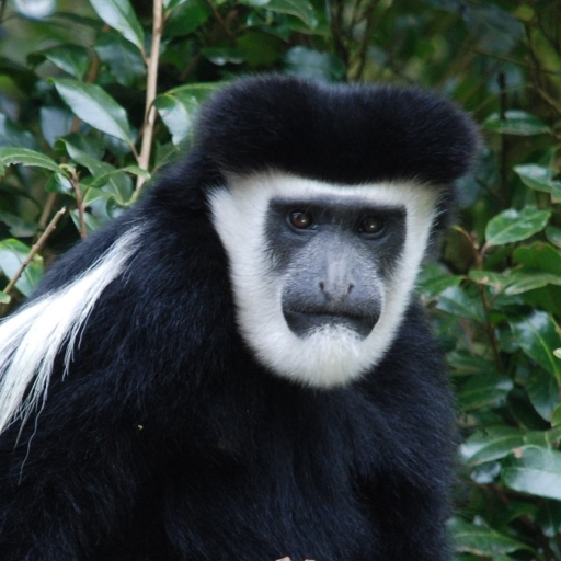 Colobus monkey stares at the camera