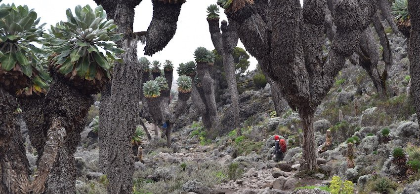 Solo trekker walking in the groundsel forest of Kilimanjaro; such an experience will be a standard part of any trek package