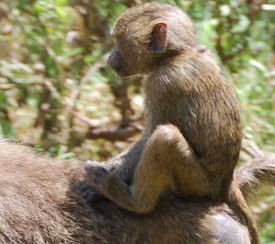 Baby baboon on his mummy's back
